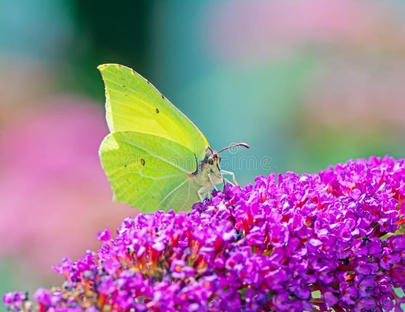 Gelber Brimstone-Schmetterling lizenzfreies stockbild