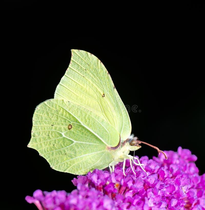 Gelber Brimstone-Schmetterling stockfoto