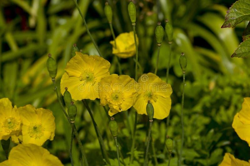 Gelber Caltha blüht, Klasse von rhizomatous beständigen Blütenpflanzen lizenzfreies stockbild