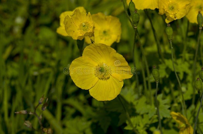 Gelber Caltha blüht, Klasse von rhizomatous beständigen Blütenpflanzen stockfotografie