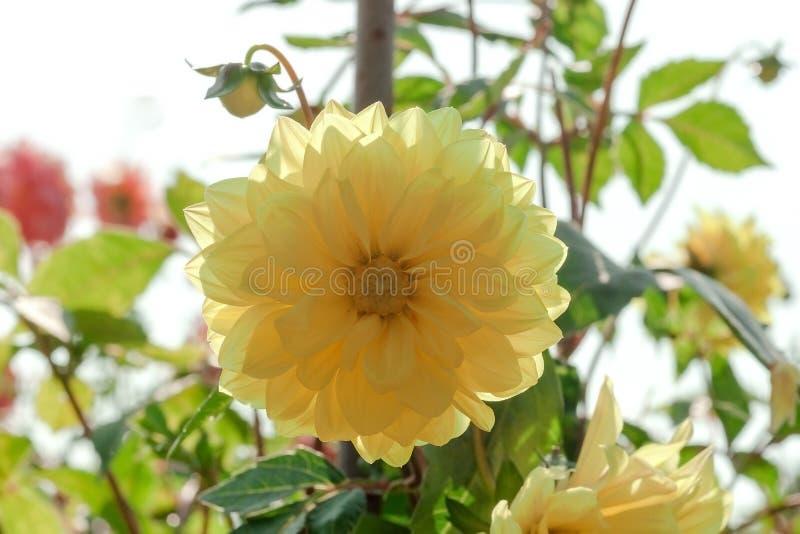 Gelber Dahlienzierpflanzenbau im Sommergarten lizenzfreie stockfotografie