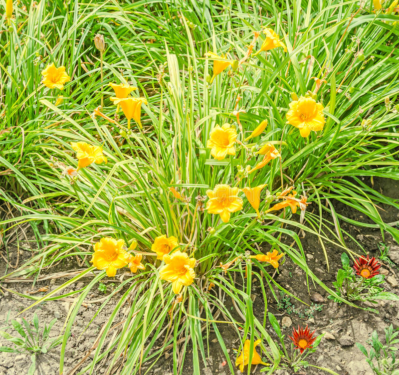 Gelber Daylily blüht, die Klasse Hemerocallis, Grünblätter stockfotos