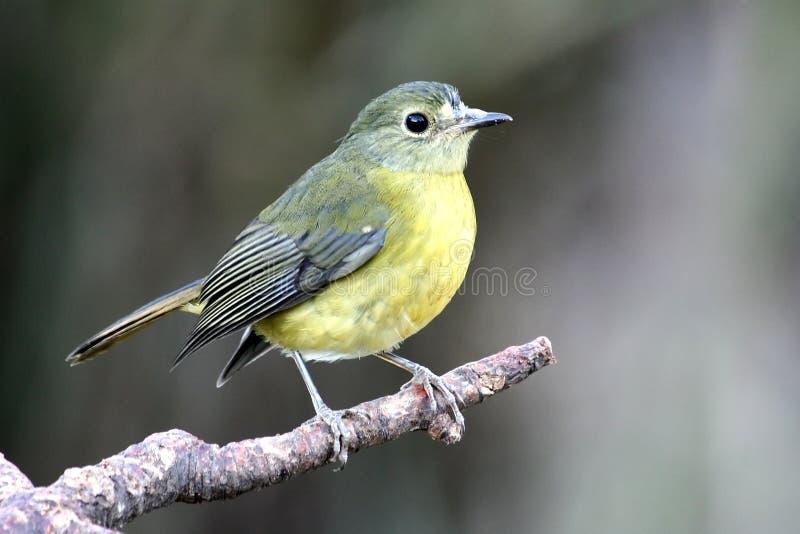 Gelber Drossel-Vogel stockbild