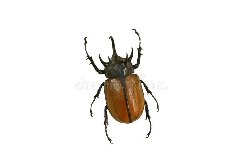 Gelber fünf-gehörnter Käfer lizenzfreie stockbilder