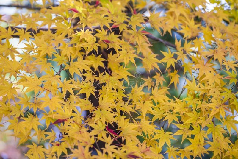 Gelber flacher Fokus des Herbstlaubs sehr stockfotos