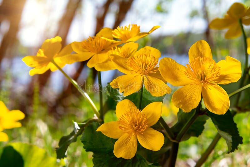 Gelber Frühling blüht Caltha palustris, die als Ringelblume bekannt sind, die Sumpf auf dem Ufer des Sees in Maifeiertagsnahaufna stockfoto