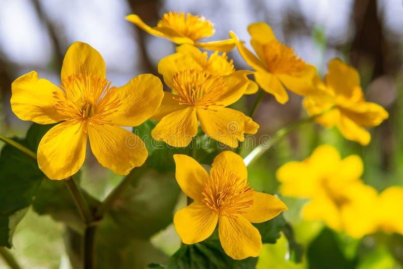Gelber Frühling blüht Caltha palustris, die als Ringelblume bekannt sind, die Sumpf auf dem Ufer des Sees in Maifeiertagsnahaufna lizenzfreie stockbilder