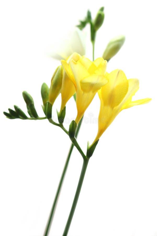 Gelber Freesia auf Weiß lizenzfreies stockbild
