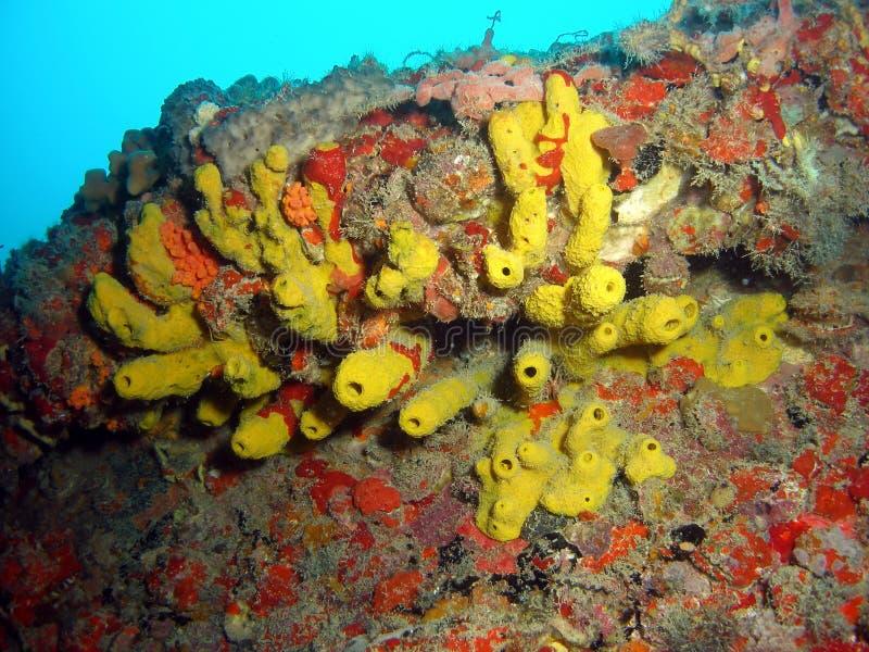 Gelber Gefäß-Schwamm stockfoto