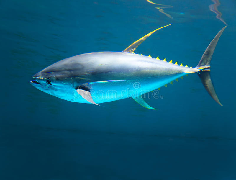 Gelber Ginthunfisch sich schnell bewegend stockfotos