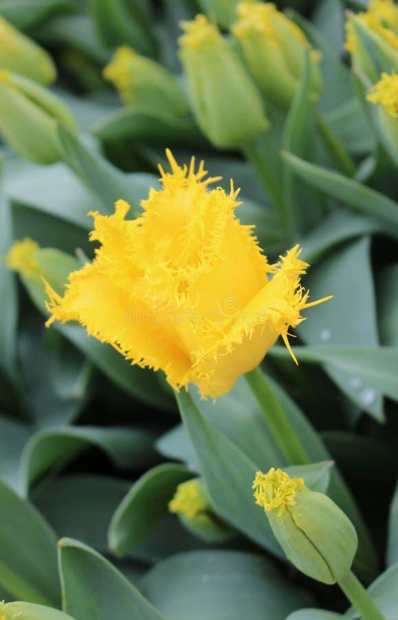 Gelber Hamilton Tulips Eingesäumte Tulpe auf einem Blumenbeet Frühling in den Niederlanden lizenzfreies stockbild