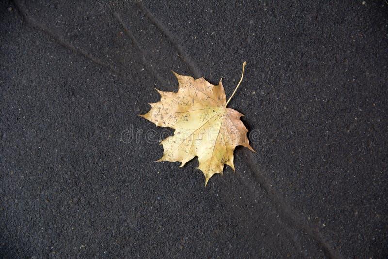 Gelber Herbstahornurlaub stockbilder