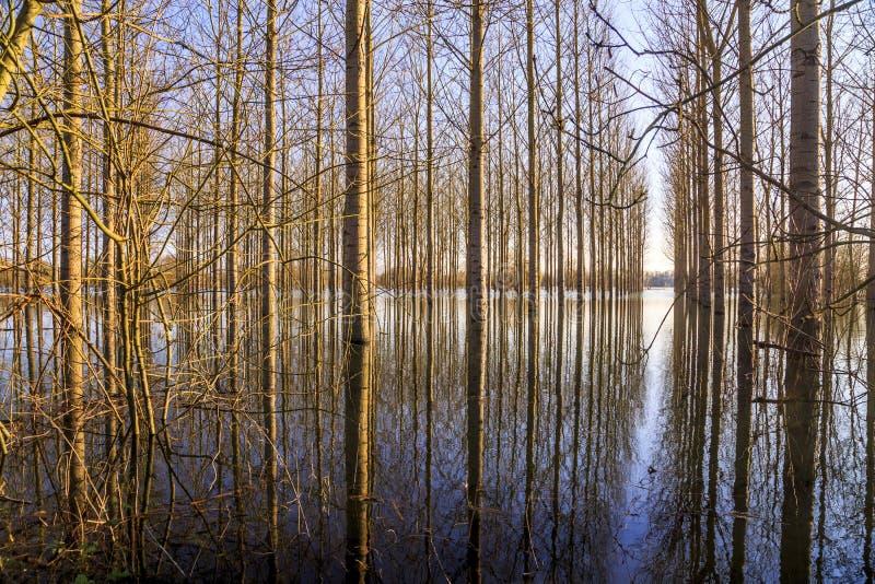 Gelber Herbstbirkenwald mit gefallenem gelbem Herbstlaub lizenzfreie stockfotos