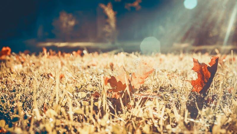 Gelber Herbstlaub auf dem Gras im Park, Strahlen der Sonne, bokeh, Platz für Text stockfotos