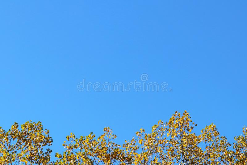 Gelber Herbstlaub auf den Niederlassungen eines Baums gegen den blauen Himmel Copispeses für die Aufschrift Grußkarte mit Natur stockfotografie