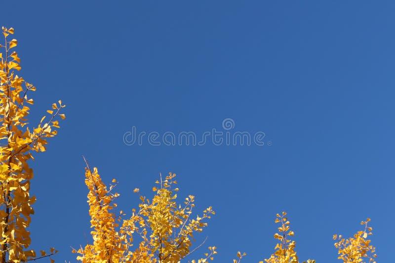Gelber Herbstlaub auf den Niederlassungen eines japanischen gingo Baums gegen den blauen Himmel Copispeses für die Aufschrift glü stockbild