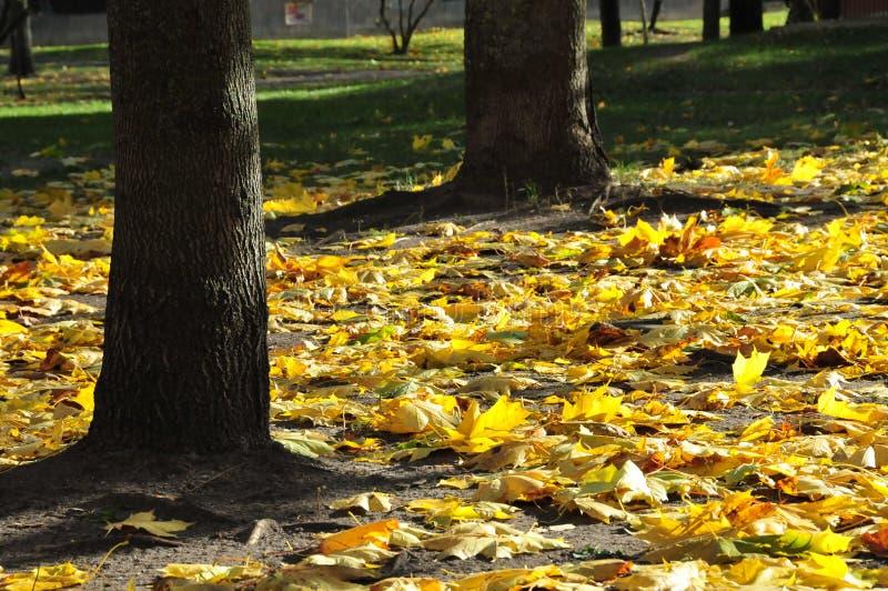 Gelber Herbstlaub unter Bäumen stockbild