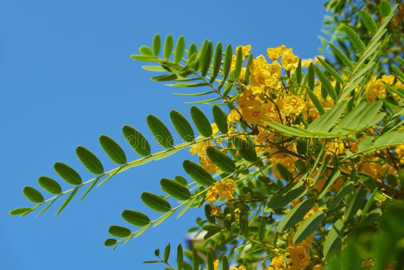 Gelber Jacaranda Tipuana tipu portugal lizenzfreies stockbild