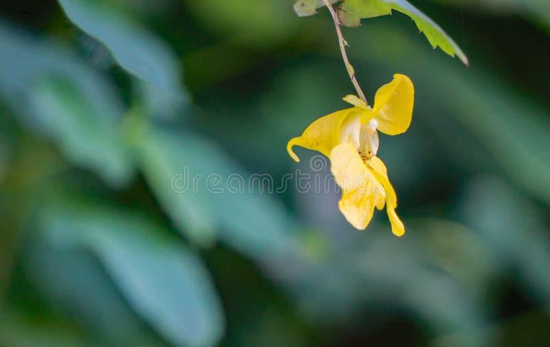 Gelber Jewelweed rief auch Pale Note-mich-nicht an lizenzfreies stockbild