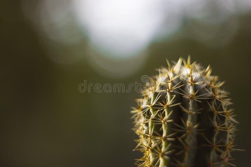 Gelber Kaktus mit Nadeln stockbild