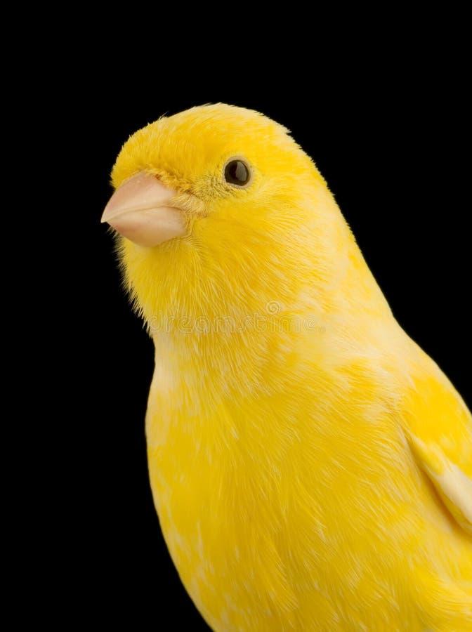 Gelber Kanarienvogel auf seiner Stange lizenzfreie stockbilder