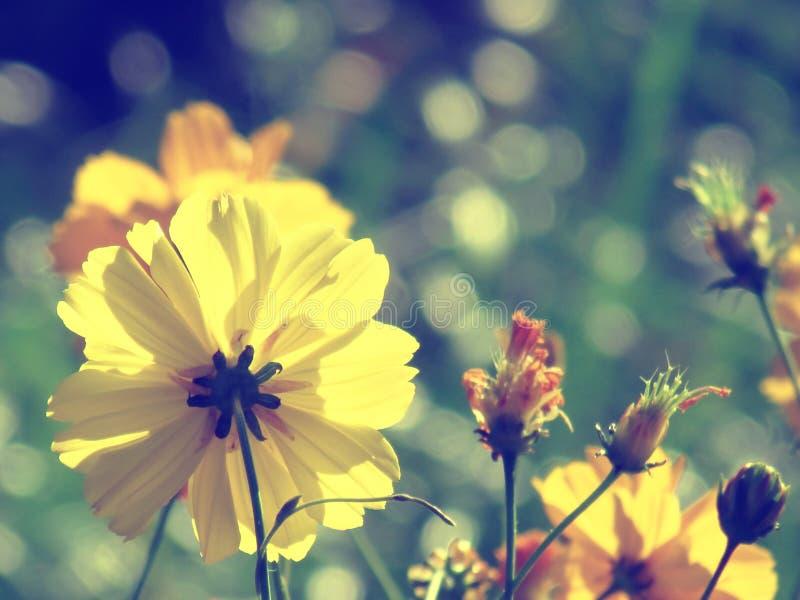 Gelber Kosmos blüht das Blühen im Garten, selektiven Fokus, b lizenzfreies stockfoto