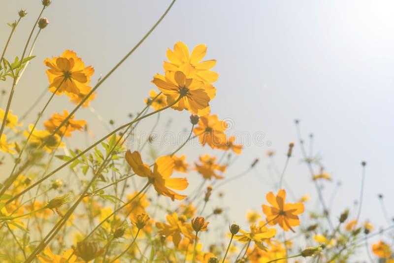 Gelber Kosmosblumengarten am sonnigen Tag lizenzfreie stockfotografie