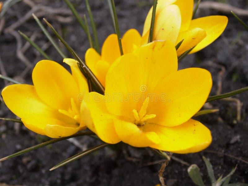 Gelber Krokus - Frühling Ist Kommendes #4 Stockfoto