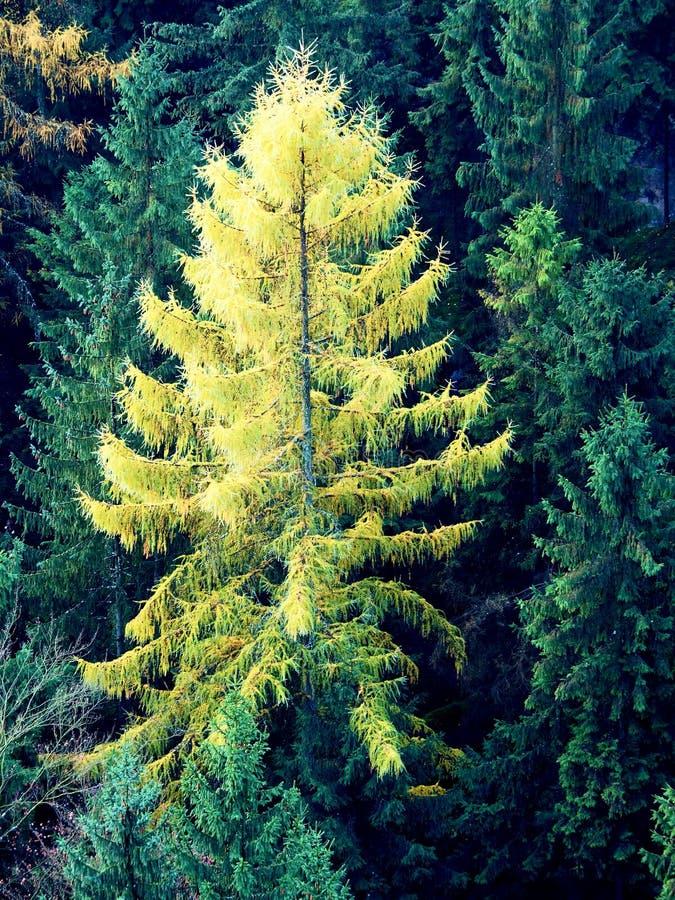 Gelber Lärchenbaum im Gebirgswald im Herbst stockfotografie