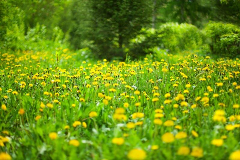 Gelber Löwenzahn blüht im grünen Wald am sonnigen Tag auf unscharfem Hintergrund, Blüte Blowballsblumen auf Frühlingsholzlichtung stockfotos