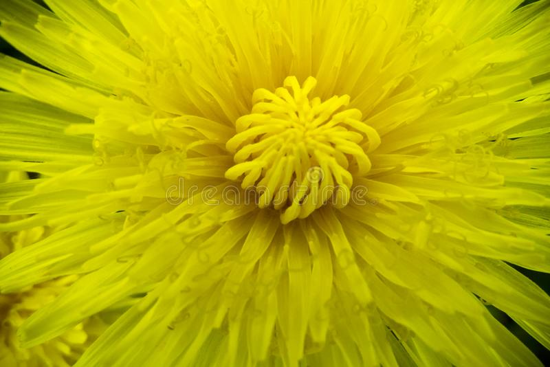 Gelber Löwenzahn der romantischen Frühlingsblume in der Makroart stockfotografie