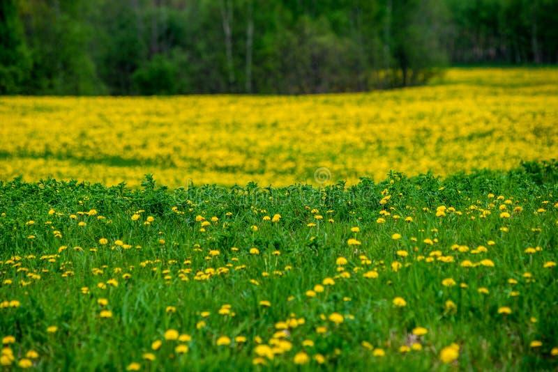 gelber Löwenzahn, der in Sommer dat in der grünen Wiese blüht stockfotografie