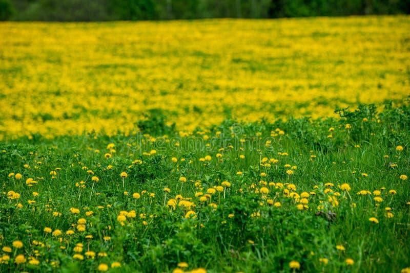 gelber Löwenzahn, der in Sommer dat in der grünen Wiese blüht lizenzfreie stockfotografie