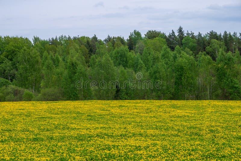 gelber Löwenzahn, der in Sommer dat in der grünen Wiese blüht stockbild