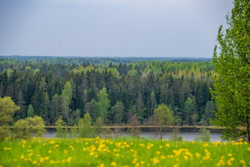 gelber Löwenzahn, der in Sommer dat in der grünen Wiese blüht stockfotos