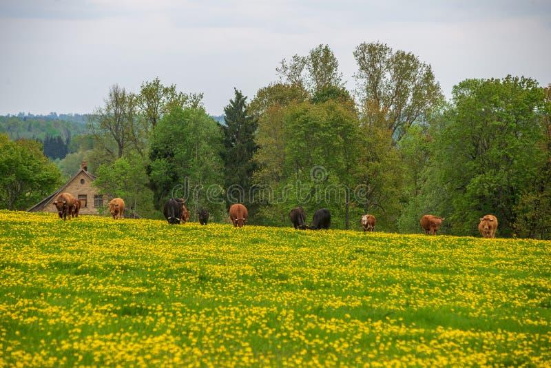 gelber Löwenzahn, der in Sommer dat in der grünen Wiese blüht lizenzfreie stockfotos