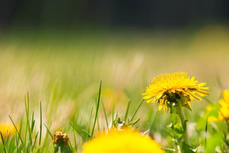 Gelber Löwenzahn im Rasen lizenzfreies stockfoto