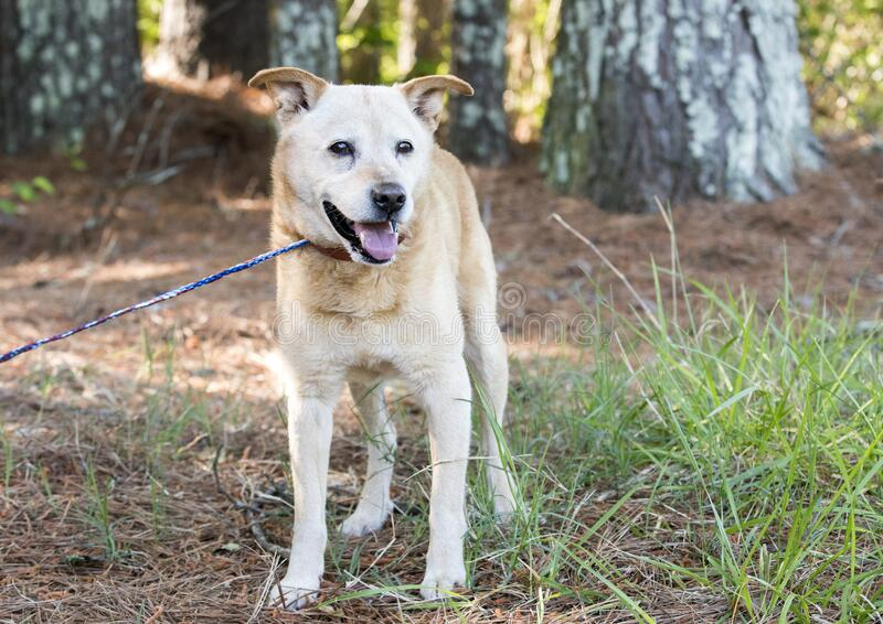 Gelber Lab-Heeler-Mischhund lizenzfreies stockbild