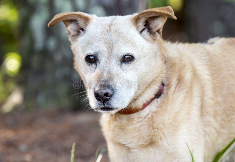 Gelber Lab Heeler-Mischhund außen auf Leinen rosa Kragenkragen stockfotografie
