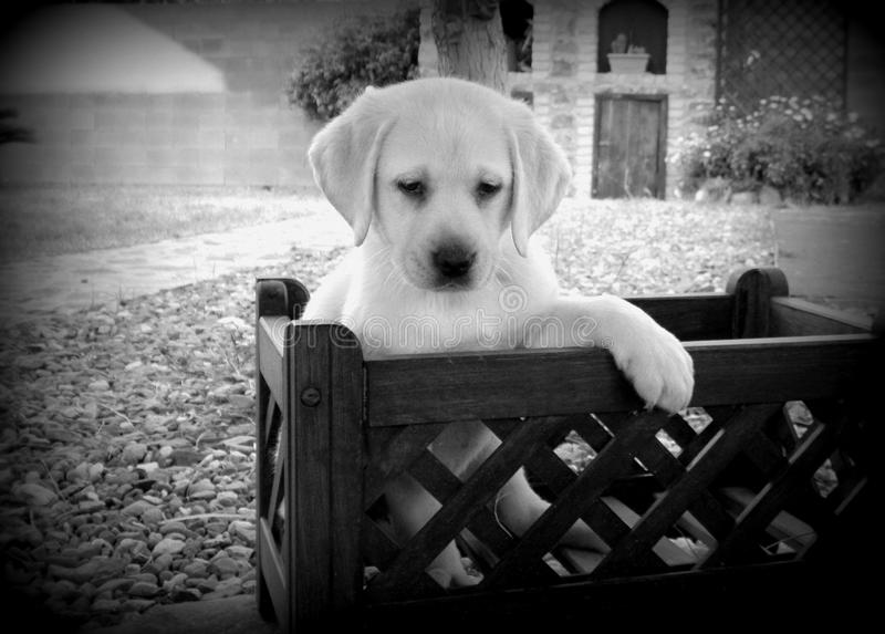 Gelber Labrador-Apportierhund-Welpe lizenzfreies stockfoto