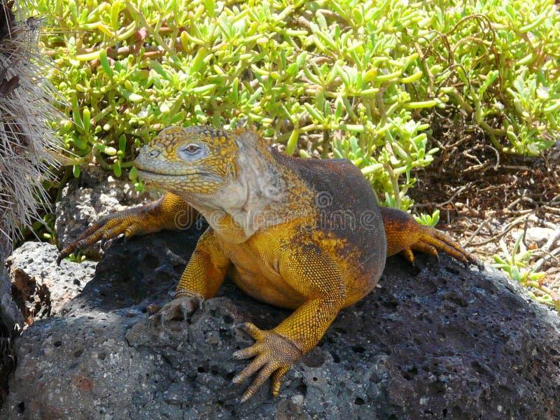 Gelber Leguan, der auf einem Stein, Galapagos-Inseln, Ecuador sitzt lizenzfreies stockfoto