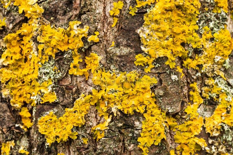 Gelber Lichen auf der Rinde stockbild