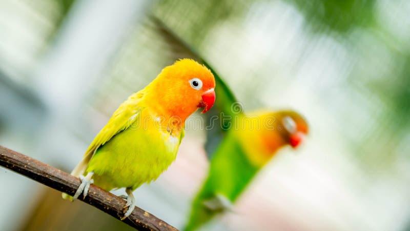 Gelber Liebesvogel stockfotos