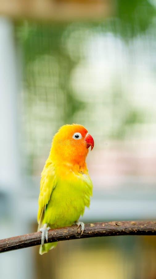 Gelber Liebesvogel stockbilder