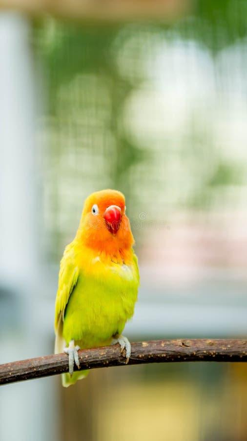 Gelber Liebesvogel stockbild