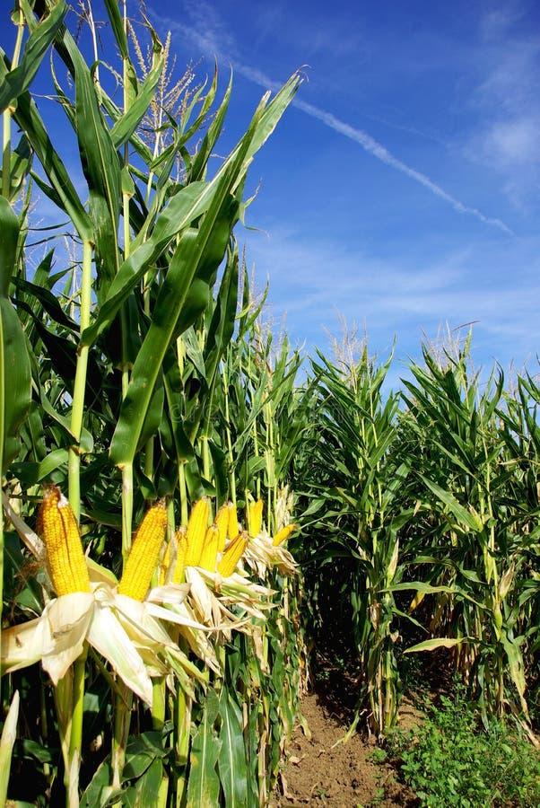 Gelber Mais. stockfotografie