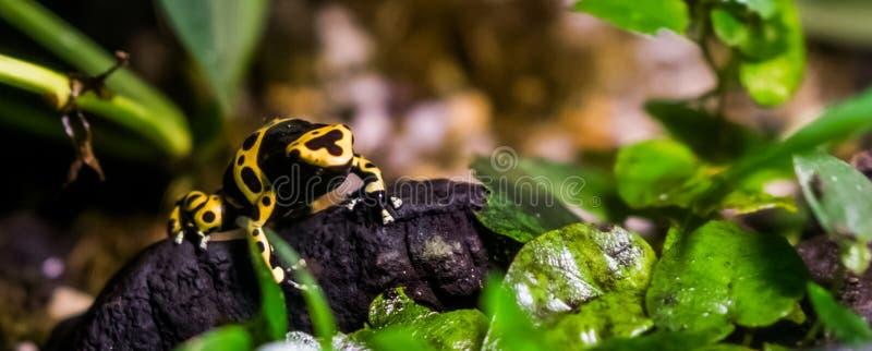 Gelber mit einem Band versehener Giftpfeilfrosch im Nahaufnahme-, tropischem und giftigemhaustier vom Regenwald von Amerika lizenzfreie stockbilder