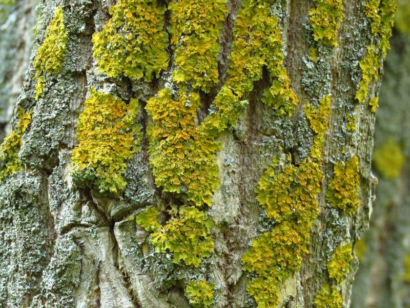 Gelber Moss On The Bark Of ein Baum-Stamm im Herbst stockfotografie