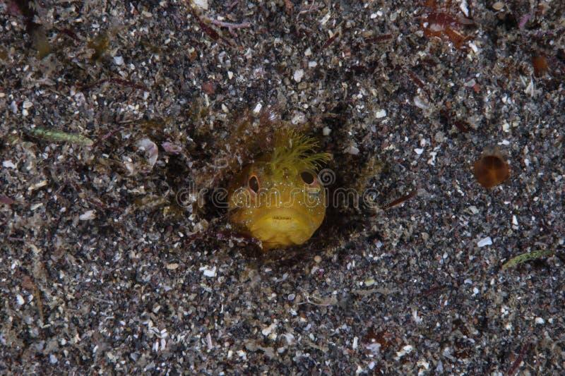 Gelber Moss Fringehead Burrowing in einem Loch Unterwasser lizenzfreies stockbild