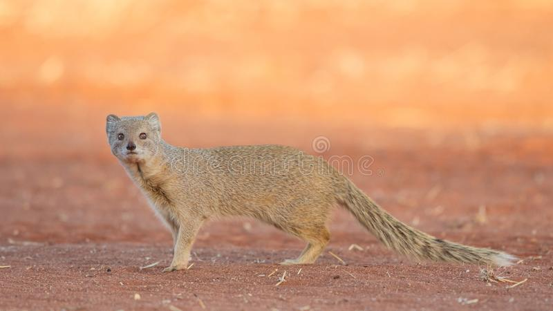 Gelber Mungo bei Sonnenuntergang, Kalahari, Namibia stockfotografie